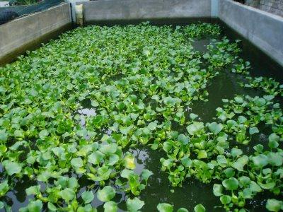 kolam betutu 2